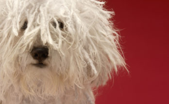 Cute-komondor-dog-close-up